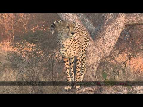 Cheetah's marks territory – South Africa Travel Channel 24