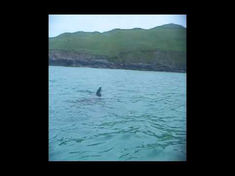 Basking shark near Cliff beach, Isle of Lewis, Scotland