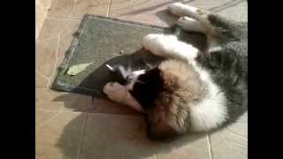 Carpathian Sheperd puppy and little tomcat playing