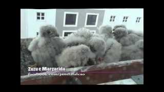 Crias de falcão alimentam-se de pássaro e rato