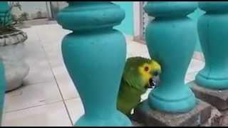 papagaio cantando tu és fiel senhor muito bom