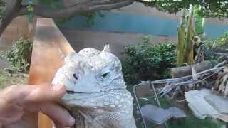 "The Best Iguana in the World, Buddy the lizard in ""Lizard Greets Man like a Dog"""