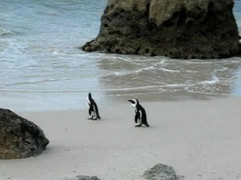 African Penguins @ The Boulders, South Africa
