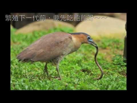 教室後的大怪鳥---黑冠麻鷺修正版 - YouTube