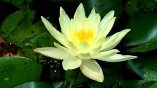 Yellow Lotus Flower Opening and Closing.  (Time Lapse)