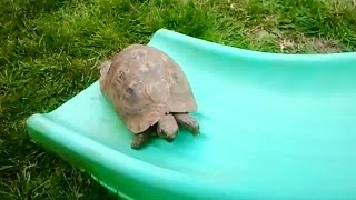 """Turtles and Tortoises on Slides Compilation"" 