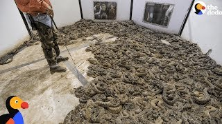 Cruel Rattlesnakes Contests Round Them Up And Kill Them | The Dodo
