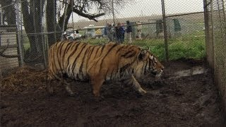 Watch these big cats being rescued from someone's backyard