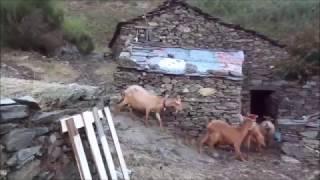 O Regresso do Rebanho, Fecho Curral, S. Pedro Açor, Serra do Açor