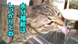 水道からしっかり水分補給するかわいい猫【あくび】Cat drinking water from the tap