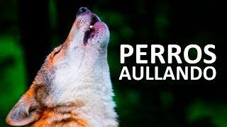 PERROS AULLANDO FUERTE   Aullidos de perros Sound Effect HD
