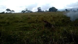 Escube caçando perdiz 2016(2)