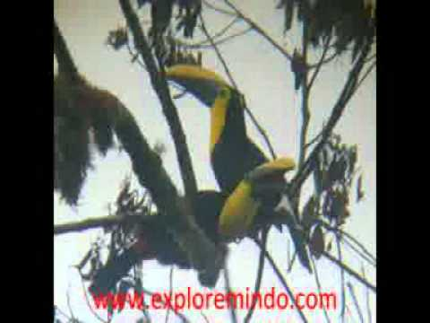 TOUCANS MINDO ECUADOR WELCOME BIRD WATCHERS TO MINDO ECUADOR, CLOUD FOREST MINDO