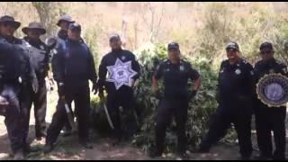 PF DESTRUYE OTRAS 15 TONELADAS DE MARIHUANA EN TUXPAN, JALISCO