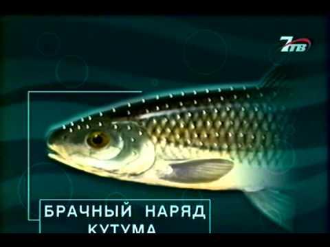 №55 Кутум