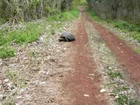 GALAPAGOS: Giant Tortoise Turtles Upon My Arrival ECUADOR santa rosa el chato 20100730