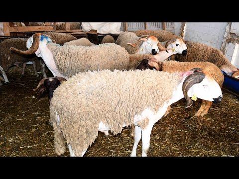 Video : Casablanca : Hausse des prix des ovins à l'approche de l'Aid Al-Adha