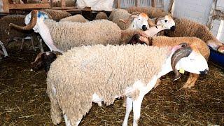 Casablanca : Hausse des prix des ovins à l'approche de l'Aid Al-Adha
