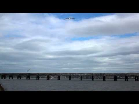 Seagulls In Flight Firth Of Tay Dundee Scotland