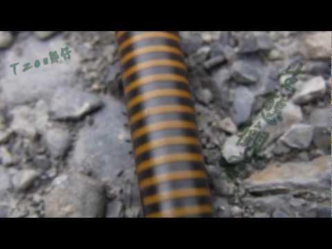 【不是昆蟲】倍足綱 -- 馬陸 - YouTube