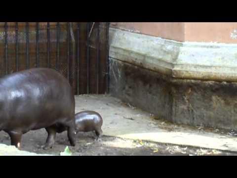Młody hipopotam karłowaty z wrocławskiego zoo