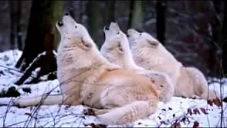 Lolongan komunal serigala/ Comunnal howls