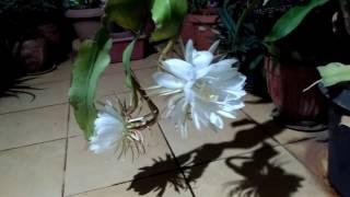 Bramha Kamal (white lotus) On 24th June 2017,  25 nos. flowers