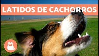 Latidos de cachorros: os mais fofos e engraçados