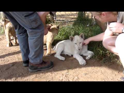 Volunteer with lions – wildlife project South Africa