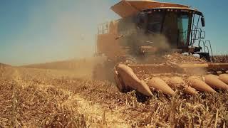 Cosecha de maíz blanco en Sinaloa
