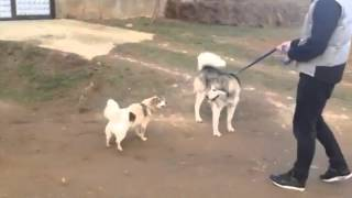 Husky vs bubi