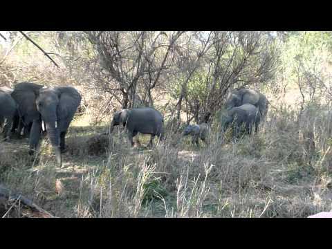 Herd of Elephants Arrives Late for Tea – Mala Mala, South Africa