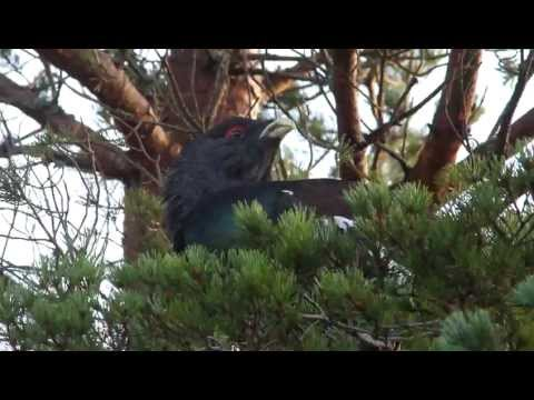 H/D Capercaillie feeding and behaving naturally.