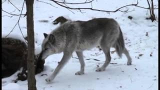 Wolf overstep walk