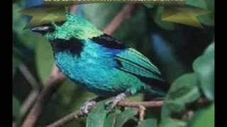 Hino Nacional Brasileiro cantado por aves...!