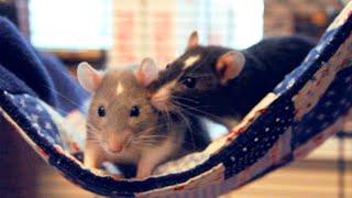 Einstein & Darwin   Adorable Pet Rats! ♥