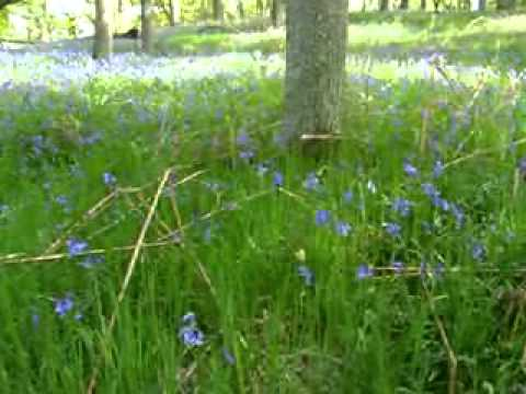 Scottish Bluebells Perthshire Scotland