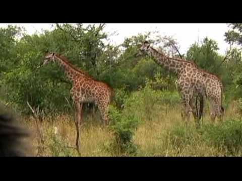 Travel – Mar 2010 – Giraffes in Kruger National Park in So. Africa – Carl W. Farley