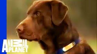 Labrador Retriever | Dogs 101 width=
