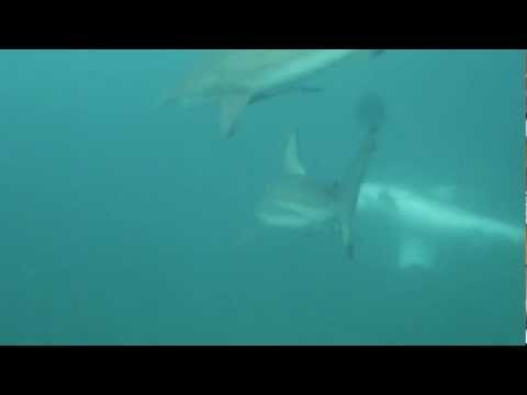Astridt naar de haaien!!