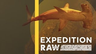Sharks Discovered Inside Underwater Volcano (EXCLUSIVE VIDEO) | Expedition Raw