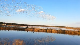 Large flock of Birds flying over a pond with reflection on water