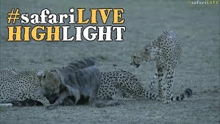 The Musketeer cheetahs kill in the blink of an eye!