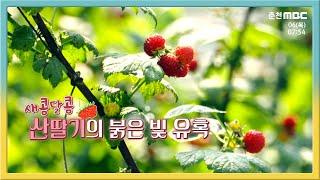 새콤달콤 산딸기의 붉은 빛 유혹 다시보기