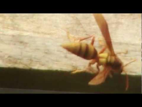 Giant Wasp Found In Costa Rica! Break Central America