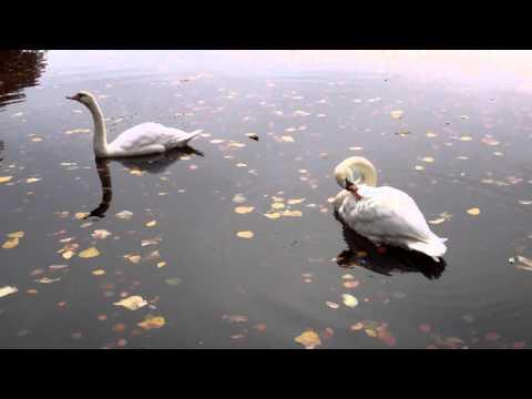 Autumn Swans Loch Faskally Pitlochry Perthshire Scotland