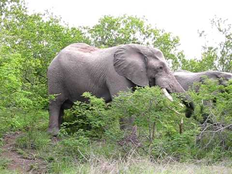 South Africa Kruger Park – two elephant eating the trees