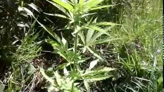 Marihuana las tres marias