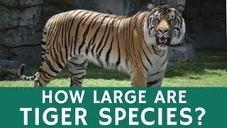How Big are Tigers? Bengal Tiger as One of the Largest Terrestrial Predators