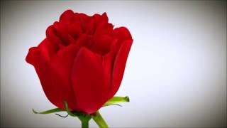 Blooming Rose Animation 3d | Blooming Rose Animation 2016